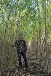 Two-year's growth, Salix 'Tully Champion'